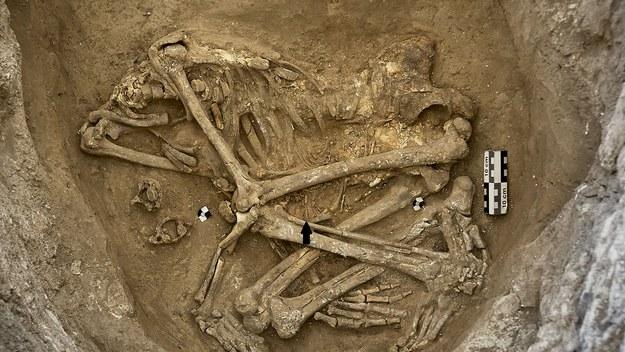 Szkielet ciężarnej kobiety z Çatalhöyük. Szkielet płodu wskazano strzałką. Zmarłych często chowano wtedy - jak w tym przypadku - bez głowy /Çatalhöyük Research Project/Jason Quinlan /Materiały prasowe