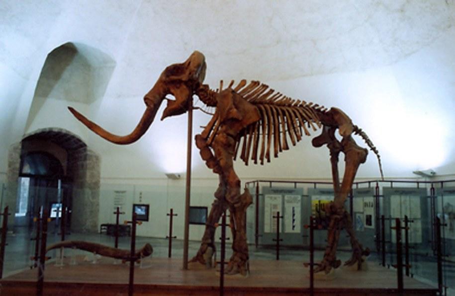 Szkielet mamuta (zdj. ilustracyjne) / NATIONAL MUSEUM OF ABRUZZO HO    /PAP/EPA