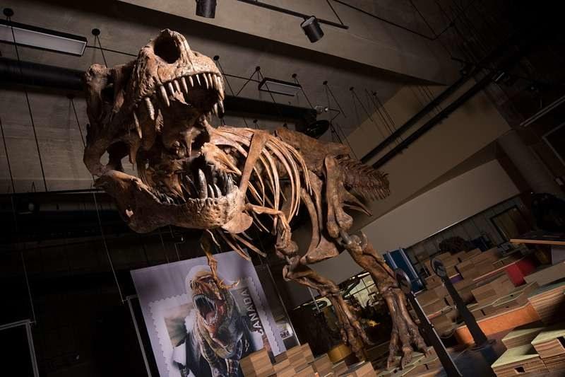 Szkielet Scotty'ego będzie można od maja tego roku oglądać w Royal Saskatchewan Museum /Amanda Kelley /Materiały prasowe