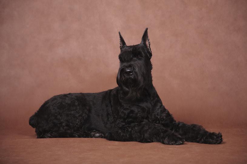 Sznaucer: Pies z włosami, który będzie strzegł domowników /123RF/PICSEL