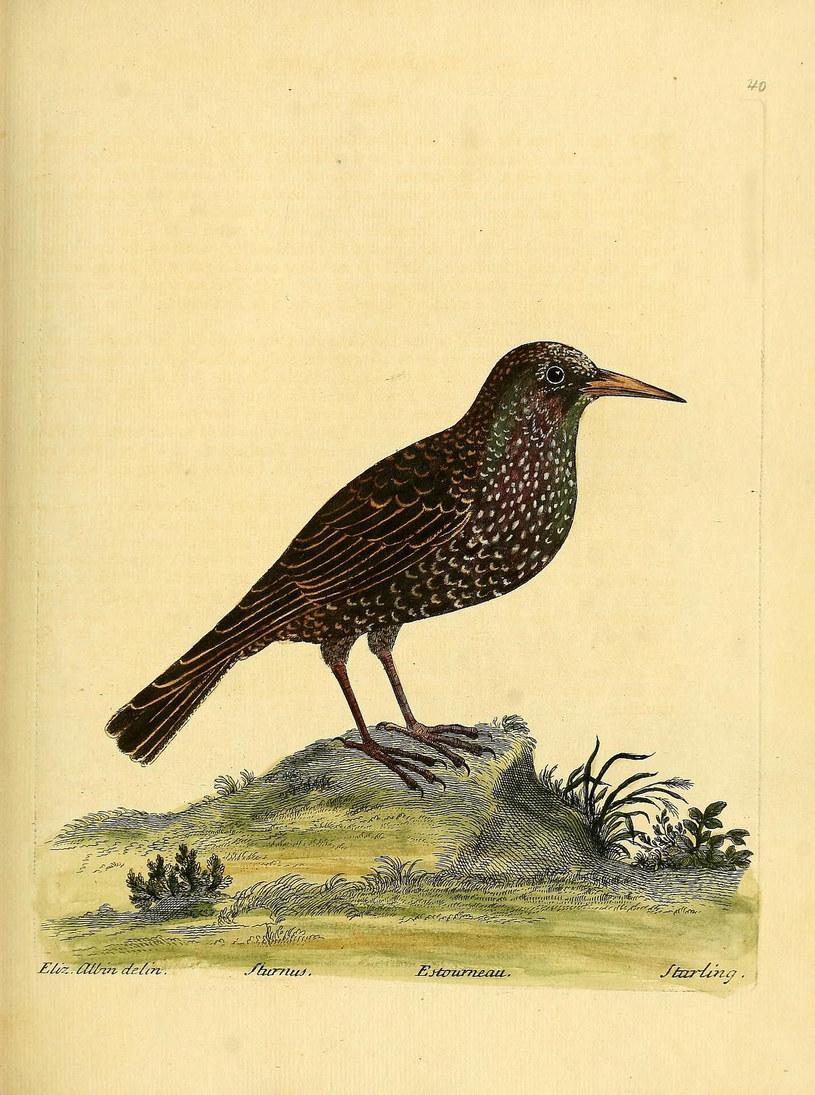 Szpak zwyczajny /Biodiversity Heritage Library /INTERIA.PL