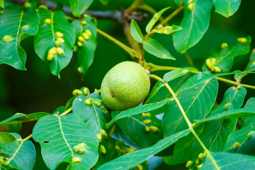 Szpeciele mogą szpecić wiele roślin, w tym te znajdujące się w sadach /123RF/PICSEL