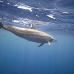 Sztuczna inteligencja identyfikuje język delfinów