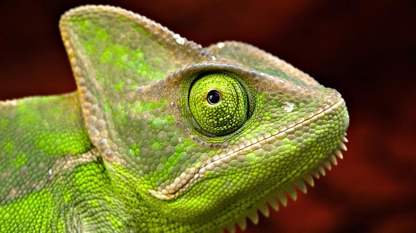 Sztuczna skóra może zmieniać kolor podobnie, jak skóra kameleona /123RF/PICSEL