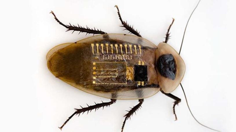 Sztuczne neurony zostały zaimplementowane do ciała karalucha /materiały prasowe