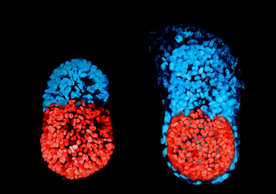 Sztuczny embrion po 96 godzinach (po lewej), prawdziwy embrion po 48 godzinach hodowli (po prawej). Na czerwono oznaczono komórki ESC, na niebiesko TSC /Sarah Harrison, Gaelle Recher, Zernicka-Goetz Lab, University of Cambridge /materiały prasowe