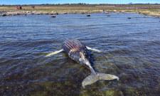 Szwecja: Władze ostrzegają gapiów przed zbliżaniem się do martwego humbaka