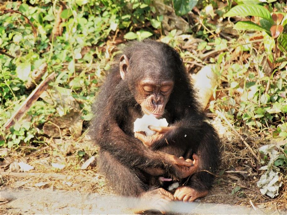 Szympans jedzący owoc /James Higham /materiały prasowe