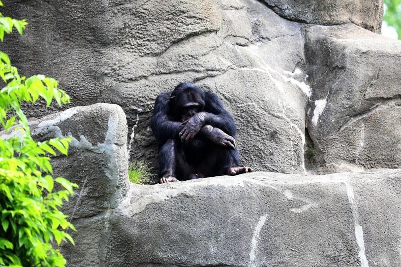 Szympans w zoo pod Detroit /Raymond Boyd /Getty Images