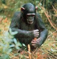 Szympans /Encyklopedia Internautica