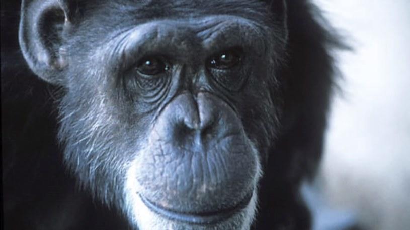 Szympansia Washoe. Małżeństwo Gardnerów z amerykańskiego Uniwersytetu Nevady udowodniło, że szympansa można nauczyć języka migowego i porozumiewać się z nim na różne tematy /Wikimedia Commons /domena publiczna