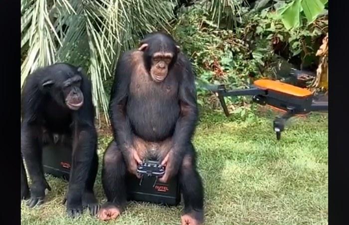 Szympansy bawią się dronem /materiały prasowe