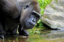 Szympansy śmiertelnie zaatakowały goryle. Pierwsza taka sytuacja w historii