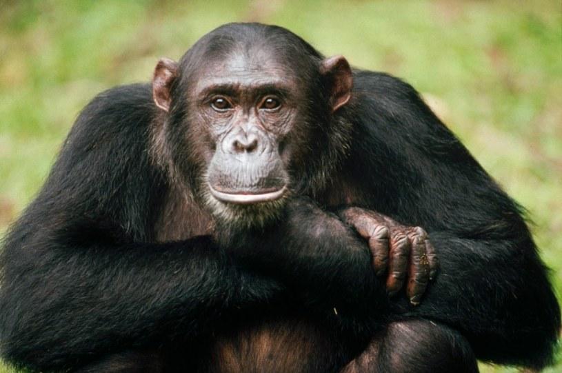 szympansy /© Photogenica