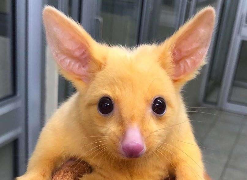 Ta kitanka lisia wygląda jak Pikachu /materiały prasowe