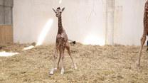 Ta mała żyrafa jest wyjątkowa. Dlaczego?