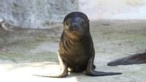 Ta malutka foka skradła serca opiekunom zoo w Wiedniu. Ma zaledwie 5 dni!