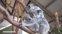 Ta mama-koala ma anielską cierpliwość. Dzieci dosłownie wchodzą jej na głowę