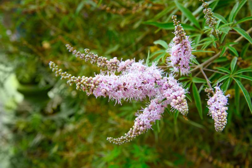 Ta niepozorna roślina pomoże ci wygrać z bólem /123RF/PICSEL
