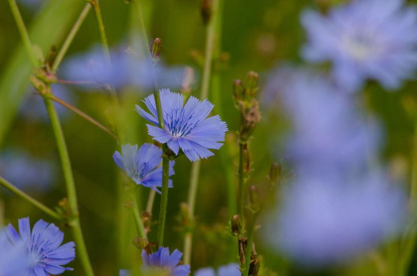 Ta niepozorna roślinka potrafi wspomóc organizm /123RF/PICSEL