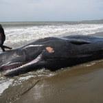 Tajemnicze śmierci wielorybów wyjaśnione
