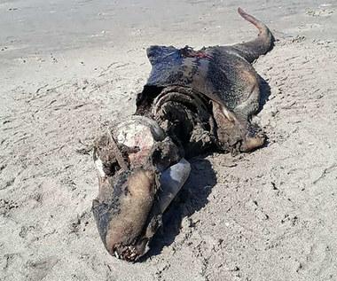 Tajemnicze zwierzę wyrzucone na brzeg Walii