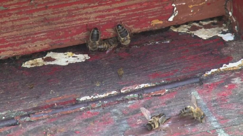 Tajemniczy pomór pszczół /TVN24/x-news