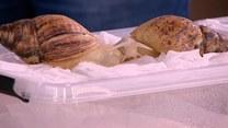 Tajniki hodowli ślimaków egzotycznych
