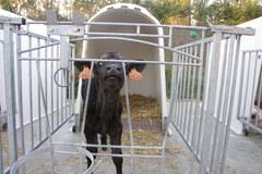 Tak mieszkają najdroższe krowy świata