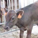 Tak mieszkają wagyu, czyli najdroższe krowy świata. Zobacz zdjęcia
