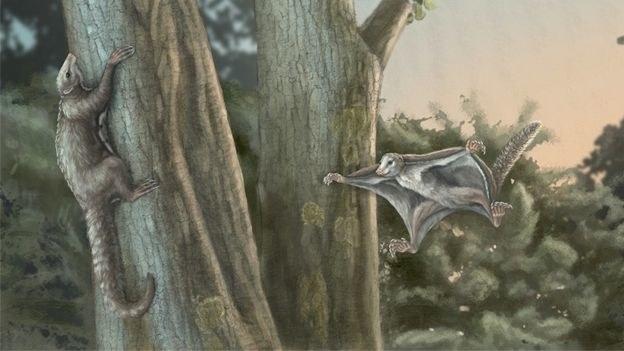 Tak mogły wyglądać pierwsze szybujące ssaki /materiały prasowe