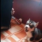 Tak śpiewa najsłodszy pies na świecie - WIDEO