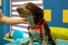 Tak wygląda rehabilitacja skatowanego psa Fijo