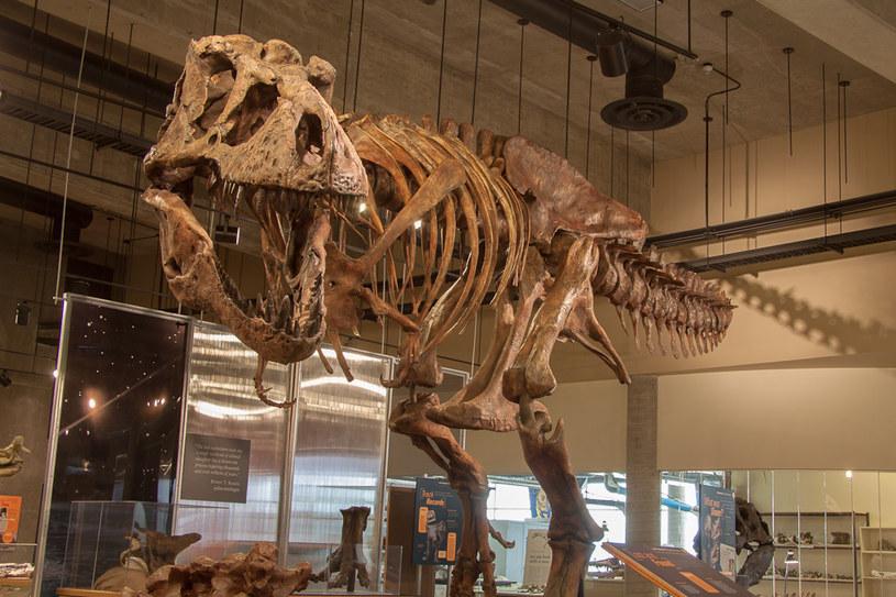Tak wygląda Scotty Fot. Royal Saskatchewan Museum /materiały prasowe