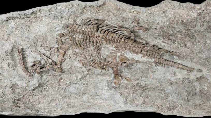 Tak wygląda szkielet najstarszego znanego nam plezjozaura /materiały prasowe