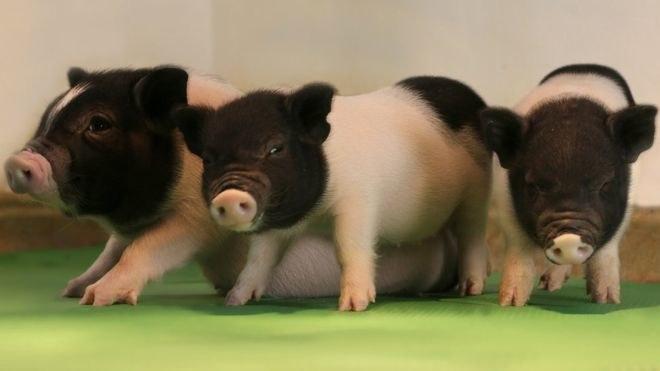 Tak wyglądają genetycznie zmodyfikowane świnie /fot. eGenesis /materiały prasowe
