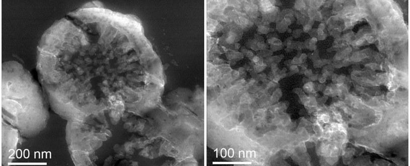 Tak wyglądają organizmy M.sedula wyhodowane na fragmentach marsjańskiego meteorytu /materiały prasowe