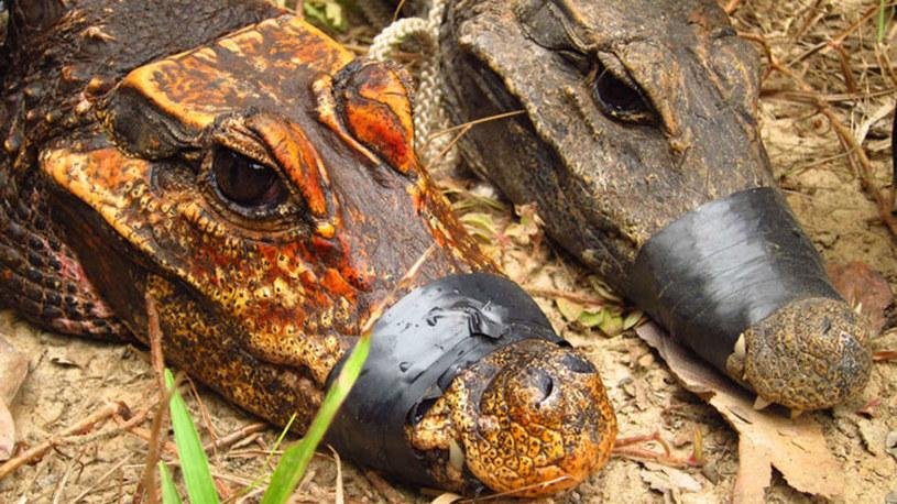 Tak wyglądają pomarańczowe krokodyle karłowate z Gabonu /materiały prasowe