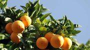 Tam, gdzie rosną pomarańcze