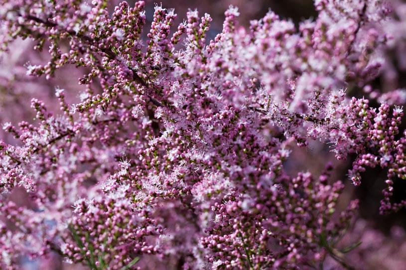 Tamaryszek pięknie zdobi ogród /123RF/PICSEL