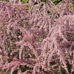 Tamaryszek: Rośnie w jałowej glebie i szybko się rozkrzewia. Jak uprawiać?