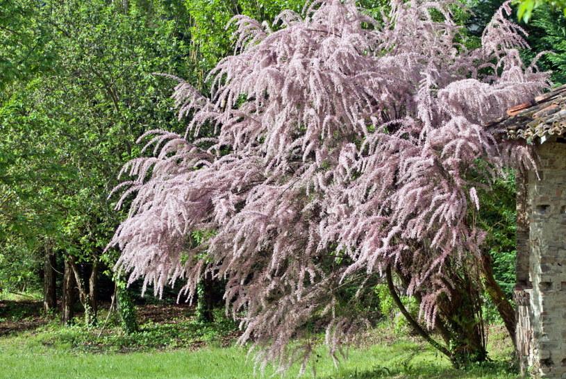 Tamaryszek to krzew o bardzo ciekawym pokroju /123RF/PICSEL