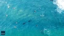 """""""Tańczące"""" delfiny dołączyły do surferów"""