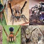 Tańczący pająk van Gogha: Natura nie przestaje zaskakiwać