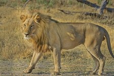 Tanzania. Lwy zabiły troje dzieci w pobliżu rezerwatu przyrody Ngorongoro