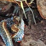 Tarantula kontra wąż - wynik starcia przeraża!