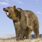 Tatry: 72-latek chciał zrobić zdjęcie z niedźwiedziem. Został pogryziony