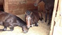 Te konie wiedzą jak się relaksować. Zobaczcie sami