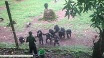 Te nastoletnie szympansy wiedzą, co to dobre maniery