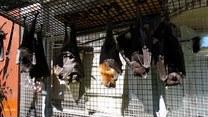 Te nietoperze wiedzą, jak powinien wyglądać prawdziwy relaks